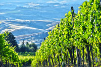 Vineyard near the city of Montalcino
