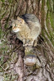 Aufmerksame Katze / Felis catus im Baum