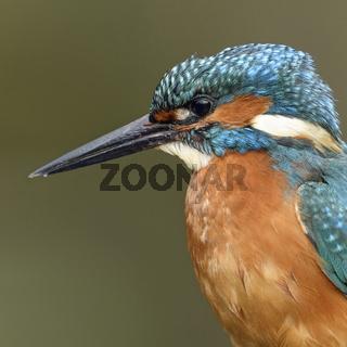 König der Fischer... Eisvogel * Alcedo atthis *
