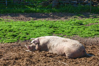 Pig who are enjoying the mud
