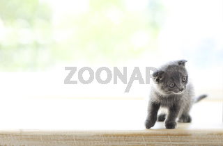 Little grey cat on wooden background