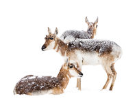 Pronghorns in Snow