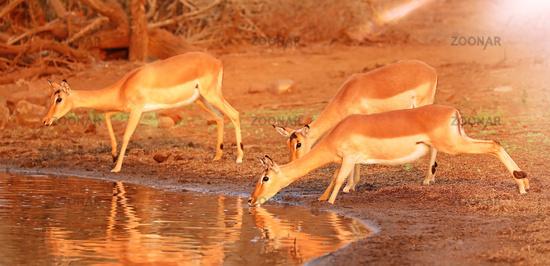 Impalas trinken vorsichtig aus Angst vor Krokodilen, Kruger Nationalpark, Südafrika, drinking Impalas are afraid of crocodiles, Kruger NP, South Africa