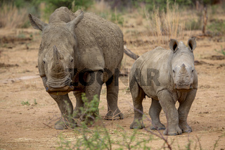 a baby rhino and his mother in the Kruger National Park South Africa