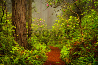 Redwoods and rhododendrons along the Damnation Creek Trail, California