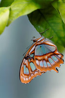 Red lacewing butterfly (lat. Cethosia biblis) resting on leaf