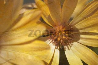 Gelbe Kapkörbchen Blüte mit Textur