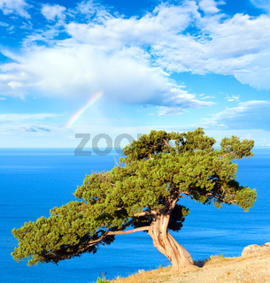 juniper tree, sea and rainbow