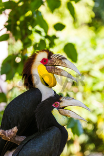 Wreathed Hornbill bird in Bali Island Indonesia