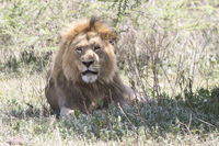 male African lion who is resting under a tree in the Ngorongoro Crater