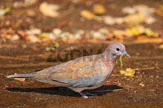 Palmtaube, Südafrika, laughing dove, South Africa, Streptopelia senegalensis