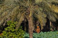 Royal Camel Farm. Kingdom of Bahrain. Königreich Bahrain. Mamlakat al-Bahrain.