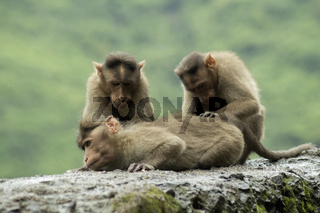 Monkeys sitting on roadside wall in Varandha ghat, Pune