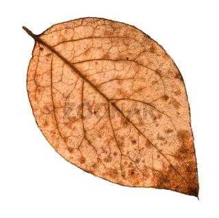 back side of autumn rotten leaf of poplar tree