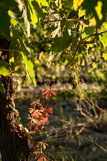 Small plant of vine and green grapes