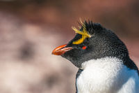 Rockhopper penguin, Patagonia, Argentina