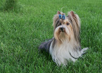 Beautiful male dog breed Beaver Yorkshire terrier with bow on a green lawn