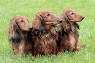 Typical Dachshund Long-haired Standard Red in the garden
