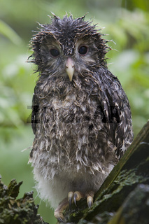 Habichtskauz, Jungvogel, Strix uralensis, Goshawk, Young