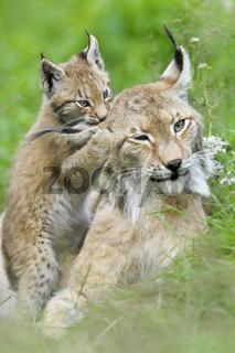 Luchs-(Lynx-Iynx)14.jpg