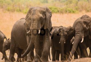 Elefanten in der Savanne vom in Simbabwe, Südafrika