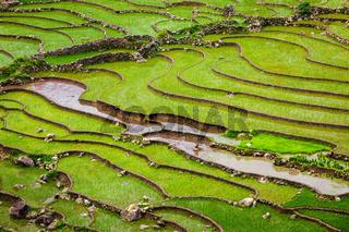 Rice field terraces, Vietnam