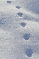 Spuren im Schnee... Amerikanischer Rotfuchs *Vulpes vulpes fulva*