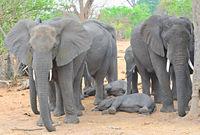 Elefantengruppe beim schlafen