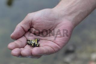 Gelbbauchunke, Bombina variegata,  yellow-bellied toad