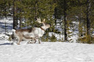 Finnisch Lappland - Rentier in freier Natur