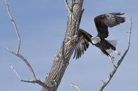 schwungvoll... Weisskopfseeadler *Haliaeetus leucocephalus*