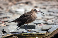 Courlis Corlieu - Whimbrel - Numenius Phaeopus