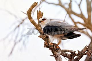 Gleitaar mit Beute, Kruger NP, Südafrika, black-winged kite with a mouse, Kruger NP, South Africa