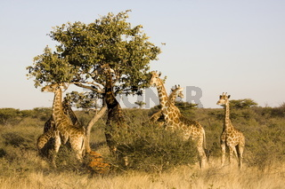 Giraffen 0684.JPG