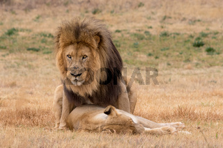 lions mating in the Kruger National Park South Africa