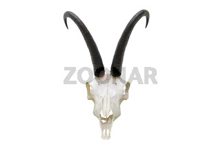 chamois ram hunting trophy isolated over white background ( Rupicapra skull )