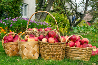 Apples harvest