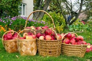 Apples harvest