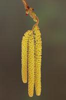 Korkenzieher-Hasel (Corylus avellana contorta)