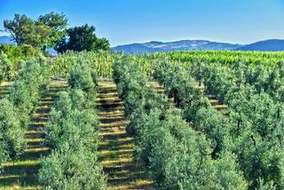 Olives plantation and vineyards near the city of Montalcino