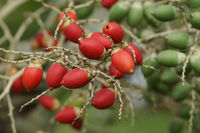 Frucht der Weihnachtspalme, Sao Tome und Principe, Afrika