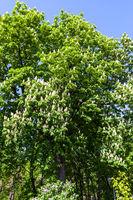 blossoming horse chestnut in Kiev in spring