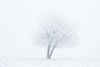 Lonely tree with whiteout on the field in winter