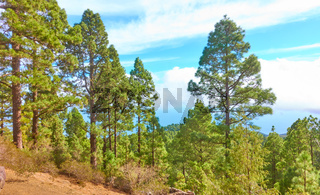 Pine tree forest in the highland