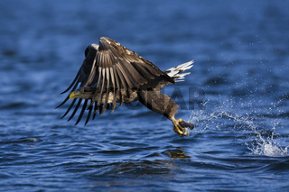 Seeadler, (Haliaeetus albicilla), White-tailed Sea Eagle