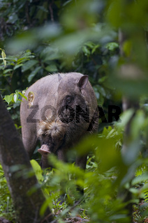 Bartschwein / Bearded Pig / Sus barbatus