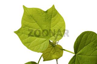 Gezahnte Blätter einer Baumwollpflanze