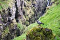 Felsentaube, Columba livia in ihrer natürlichen Umwelt