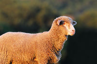 portrait of white fluffy lamb over out of focus background