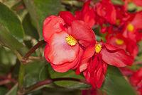 Eisbegonie oder Ewige Liebe, Begonia semperflorens